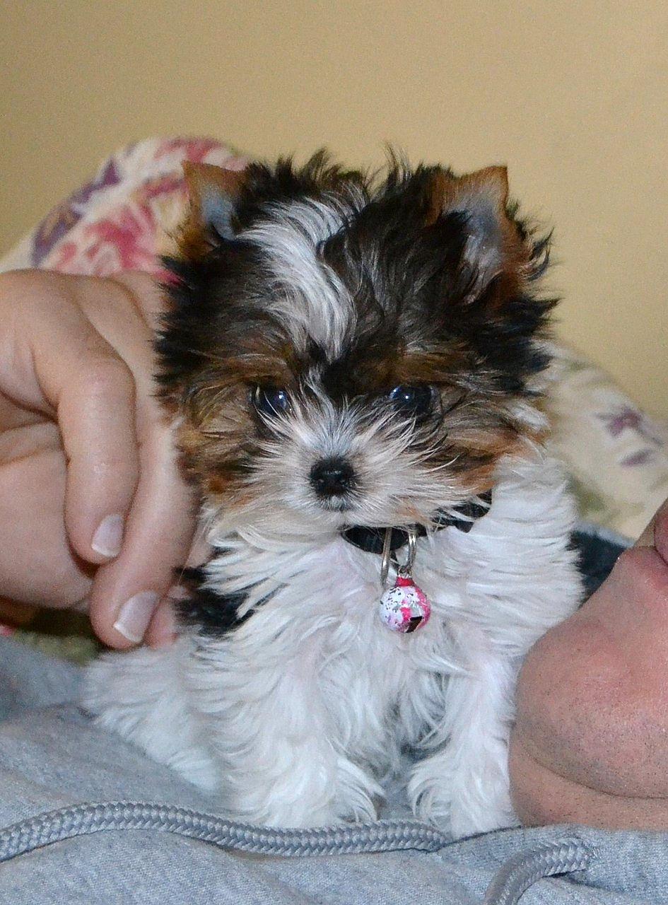 Puppies for sale tauranga
