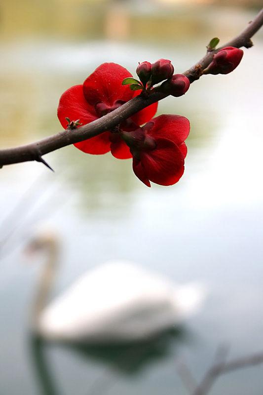 Cherry Blsm