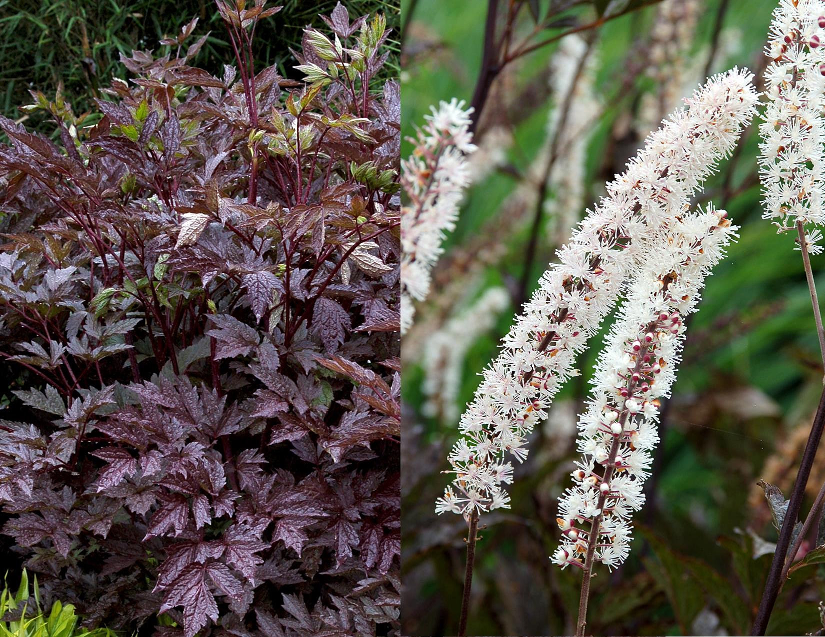 Secret Gardens By Crystal Bugbane Black Negligee