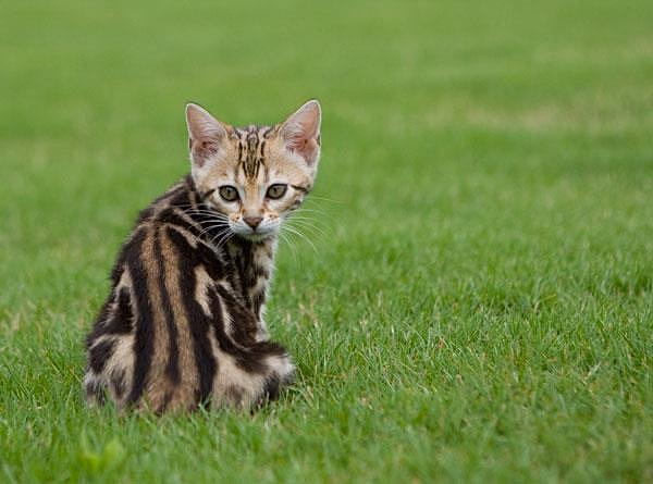 Bahiya Bengals| Bengal Cat Breeder| Indiana| Georgia ...