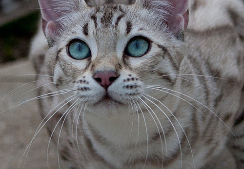 Snow Marble Bengal Cat For Sale