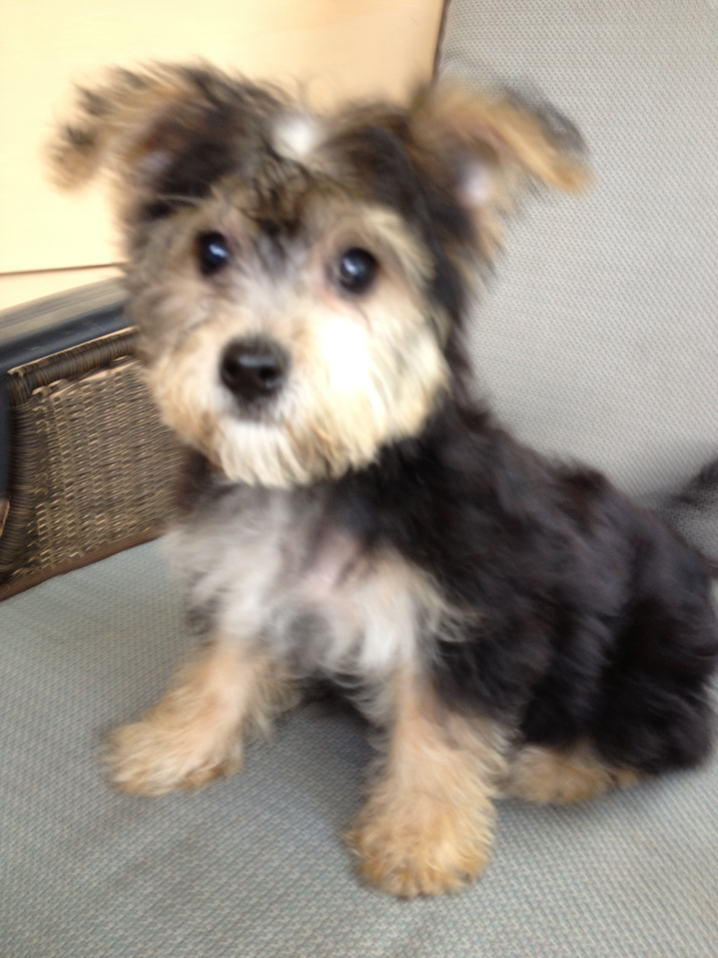 ... illinois non shedding puppies hypo-allergenic puppies | Yorkie Bichon