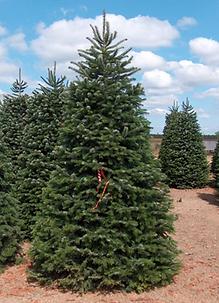 nordmann fir new - Types Of Christmas Trees