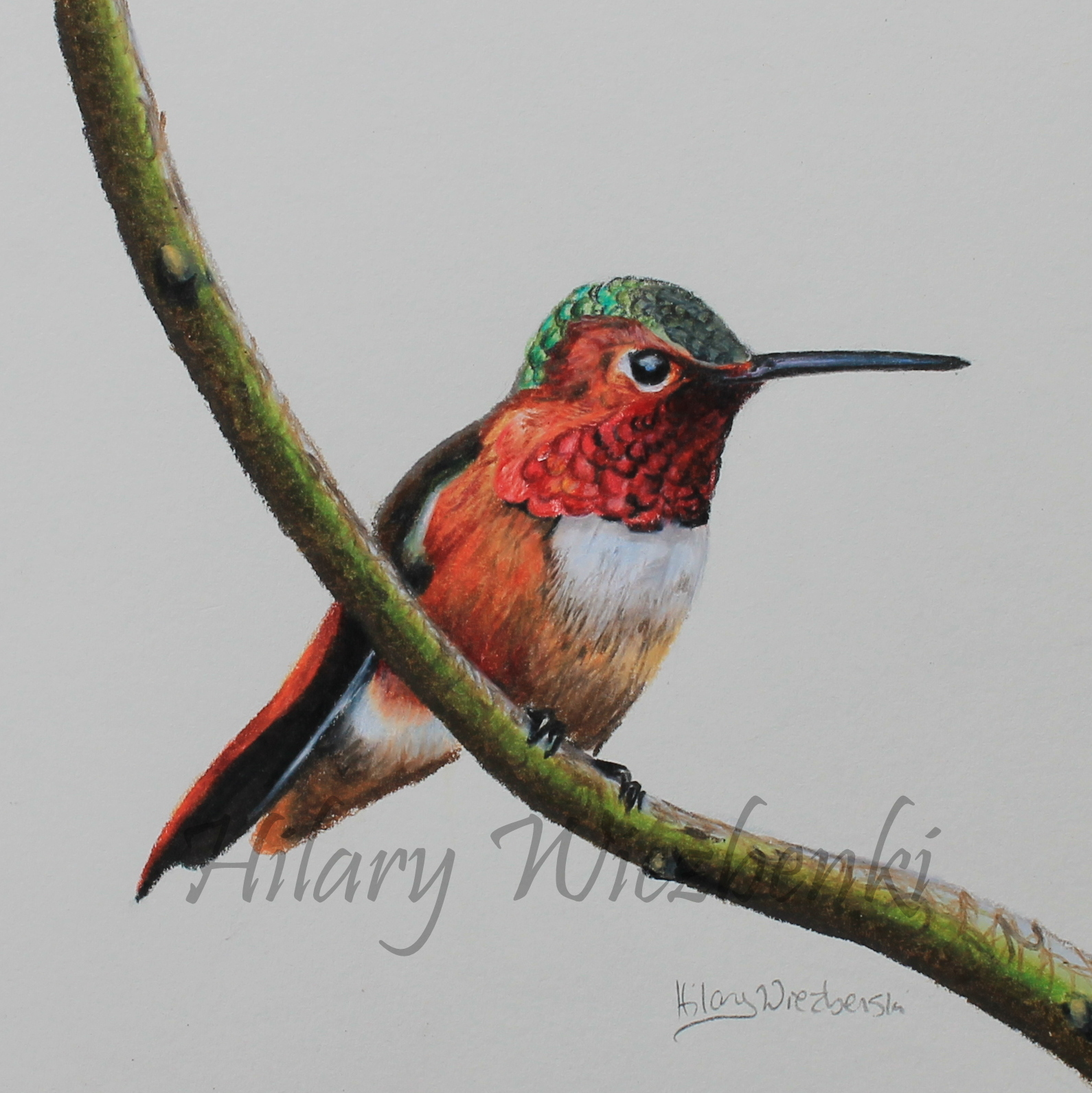 Rufous hummingbird drawing - photo#3