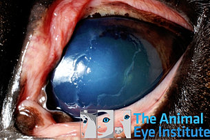 equine fungal keratitis - photo #17