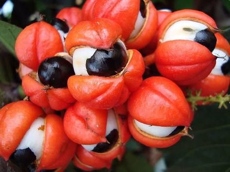 sementes-de-guarana.jpg