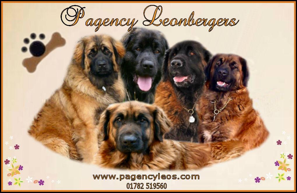Pagency Leonbergers  LPN1  amp 2 Leonberger Health Foundation