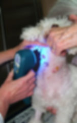 Micky the dog having laser therapy with the blue light for infection