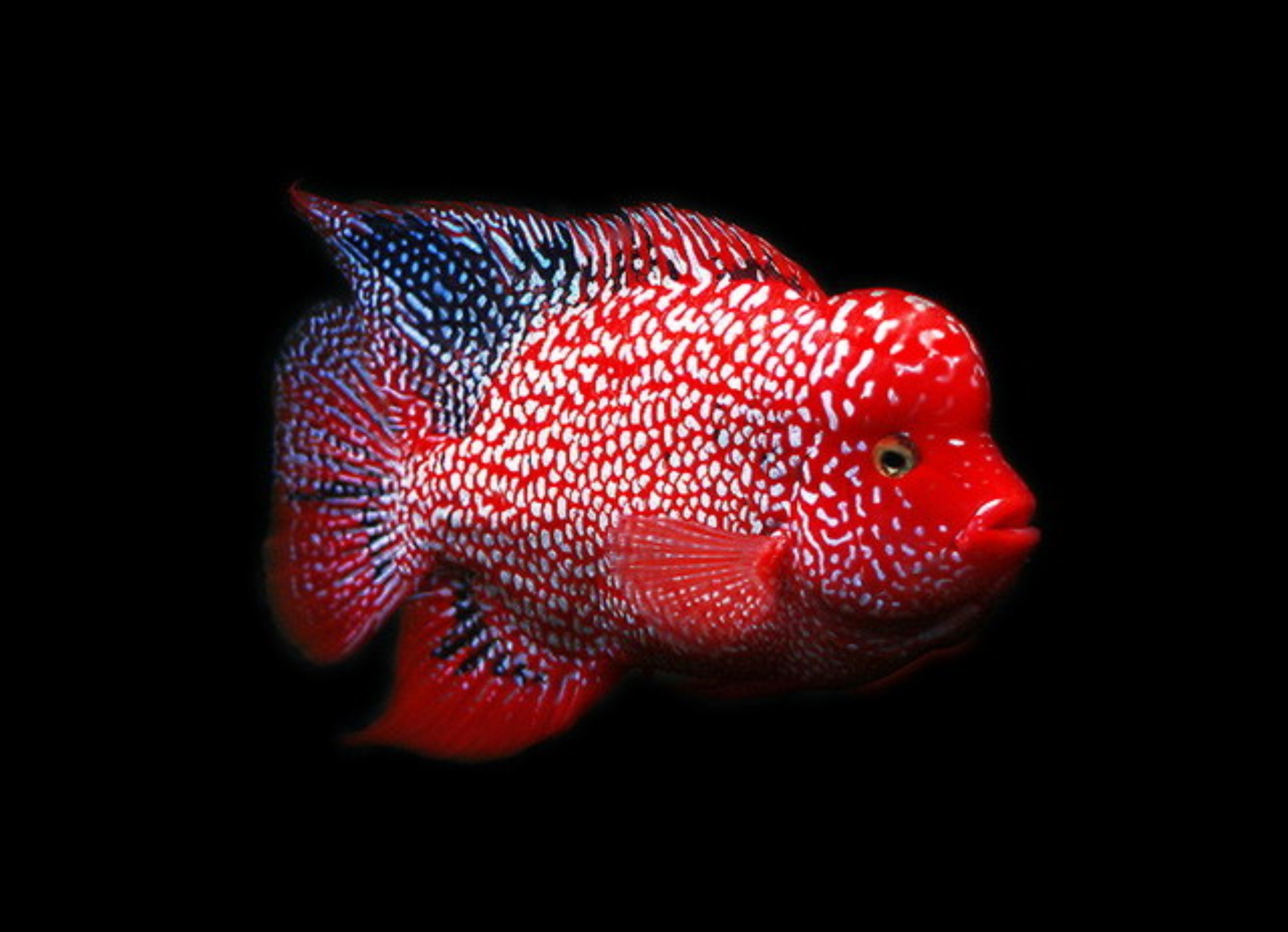 Texas flowerhorn arowana for Flower horn fish price