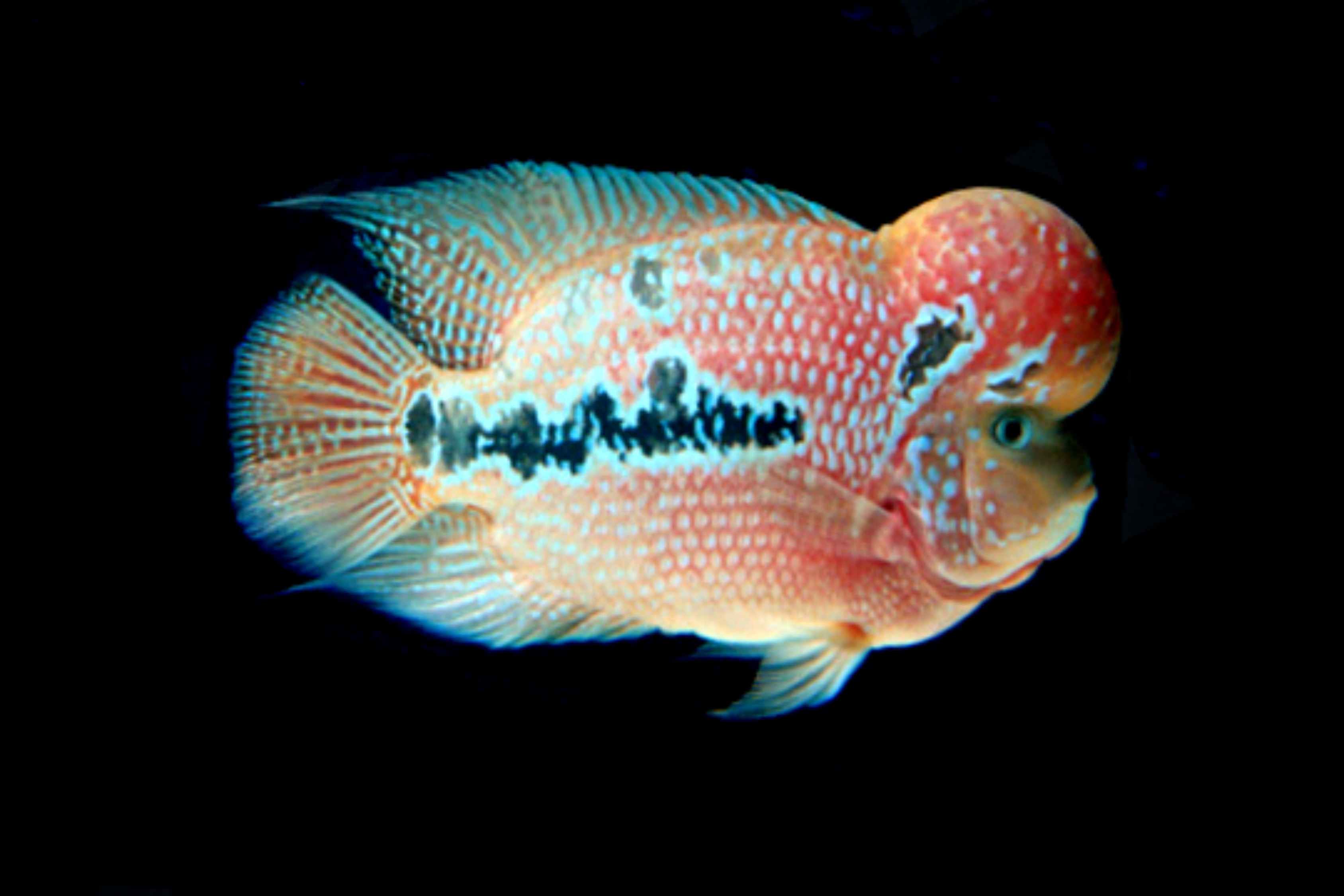 Kamalau flowerhorn arowana for Flower horn fish price