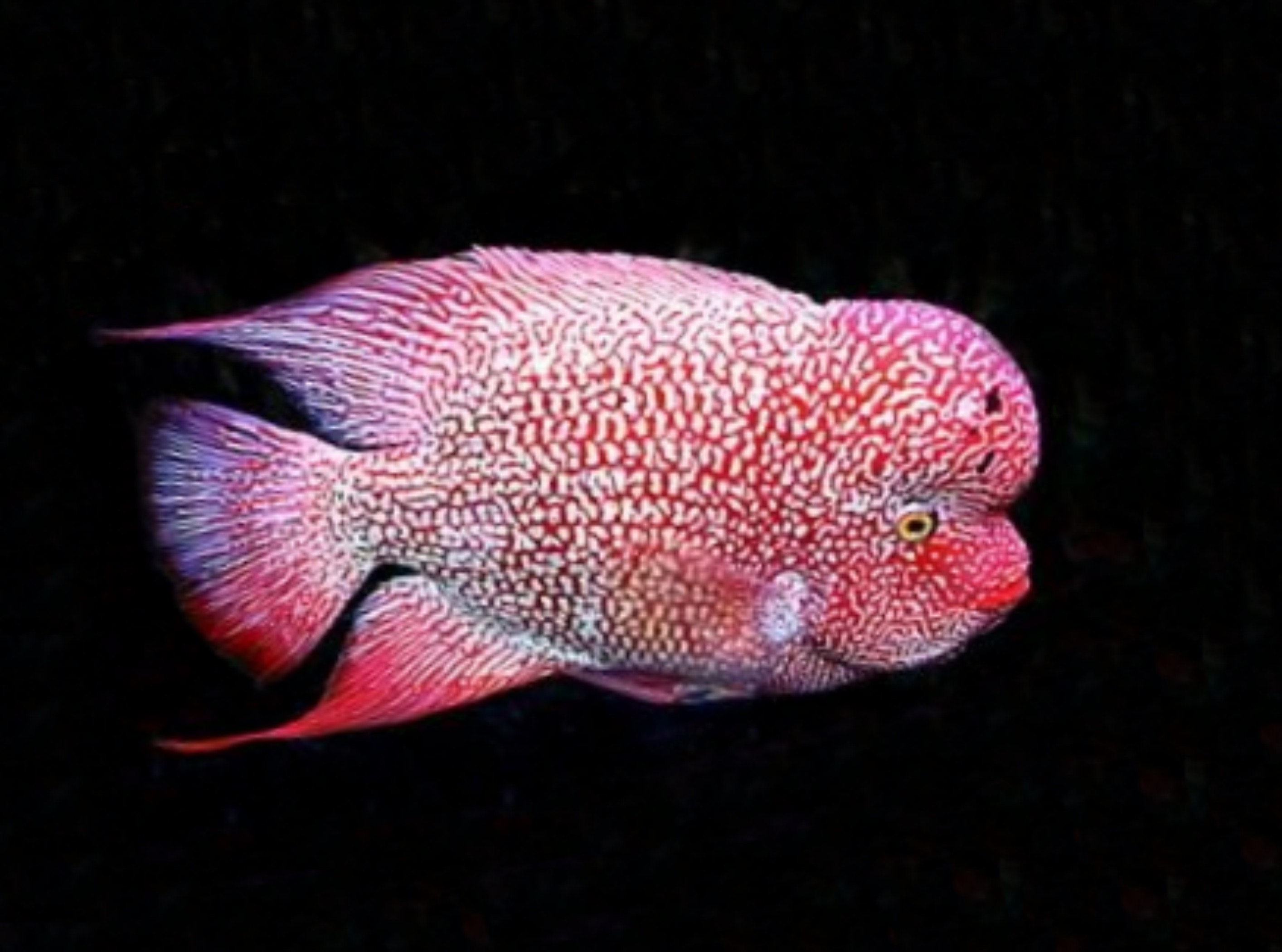 Red kamfa flowerhorn arowana for Flower horn fish price