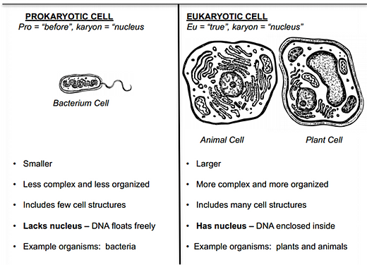 Difference Between Prokaryotes And Eukaryotes Chart | Download Latest ...