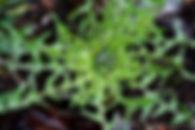 s1-dandelion copy.jpg