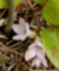 6-Trailing Arbutus in bloom copy.jpg