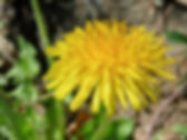 8-dandelion flower.jpg