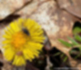 2-Coltsfoot and flower fly copy.jpg