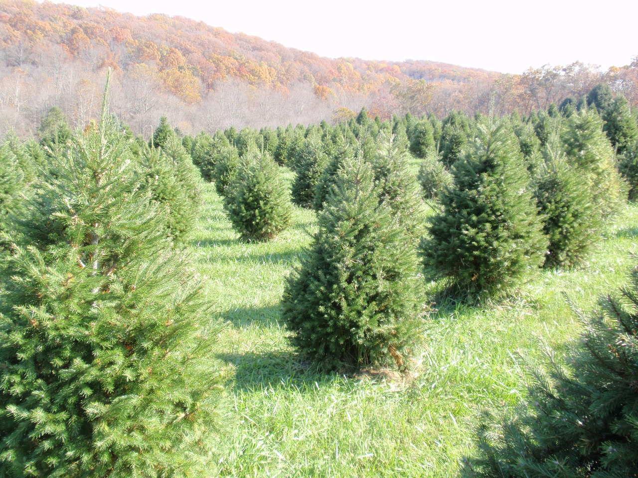 start your christmas - Starting A Christmas Tree Farm