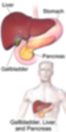 Location_of_the_Gallbladder,_Liver,_and_