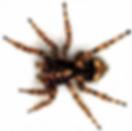 Omaha Spider Control   Omaha Black Widow Spider Control   Tree Lawn Medic - Omaha NE