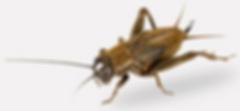 Omaha Cricket Control | Exterminator | Tree Lawn Medic - Omaha NE