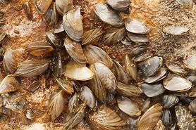 zebra_mussels_img_3017_media--.jpg