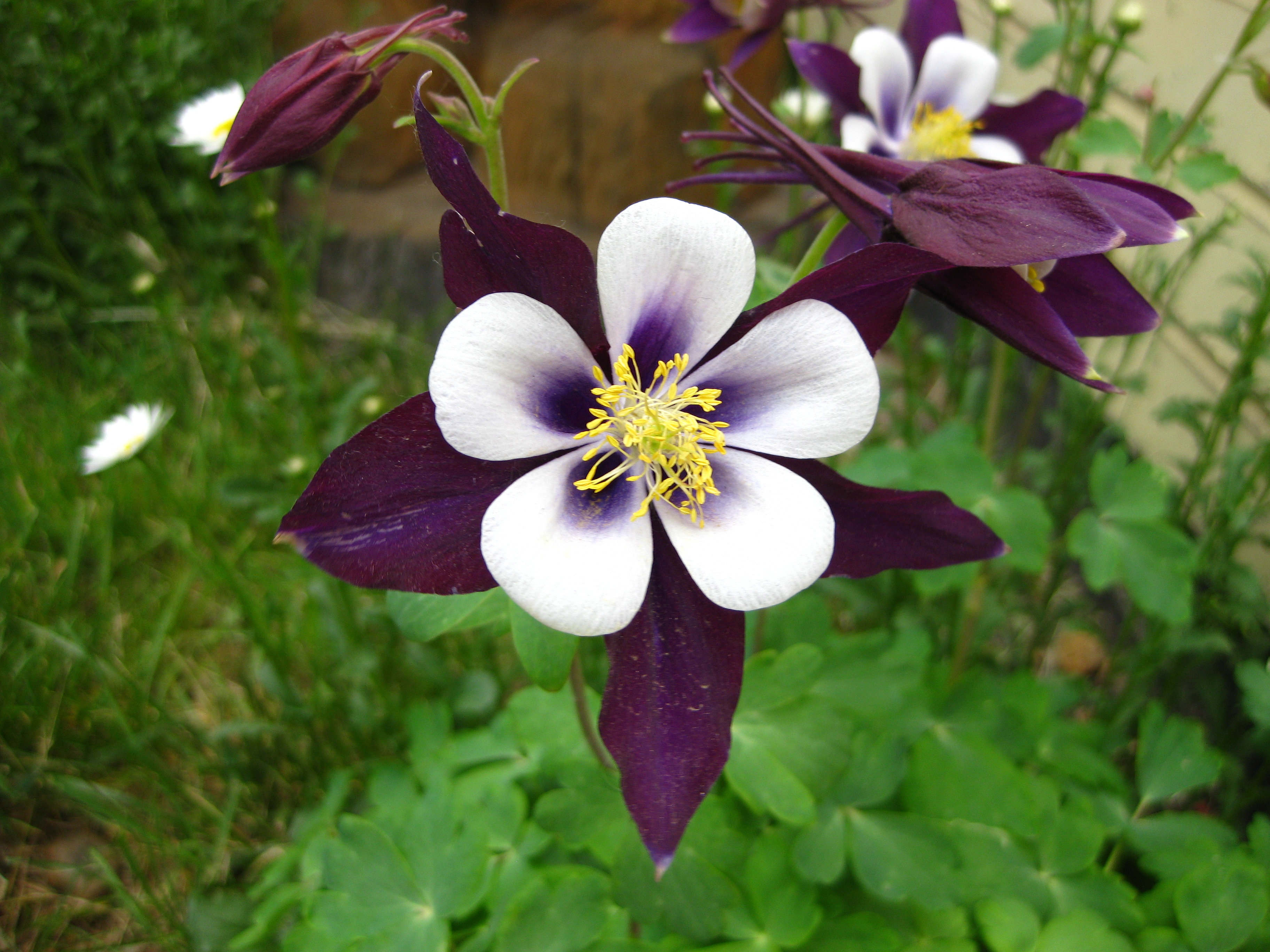 bear paw lodge cabins and vacation home rentals  purple columbine, Beautiful flower