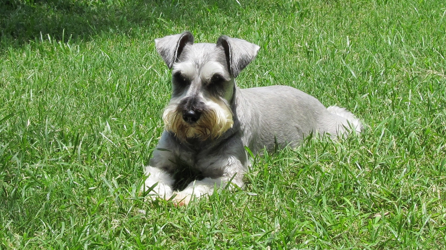 Epagneul Nain Continental 173 additionally Pomsky 20Treats together with 10932 furthermore Schnoodle moreover msrnorthwest. on miniature schnauzer for adoption