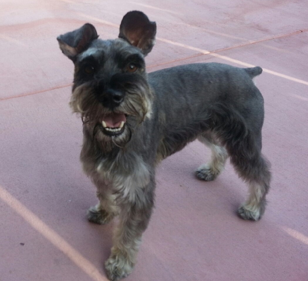 Miniature Schnauzer Rescue Dogs