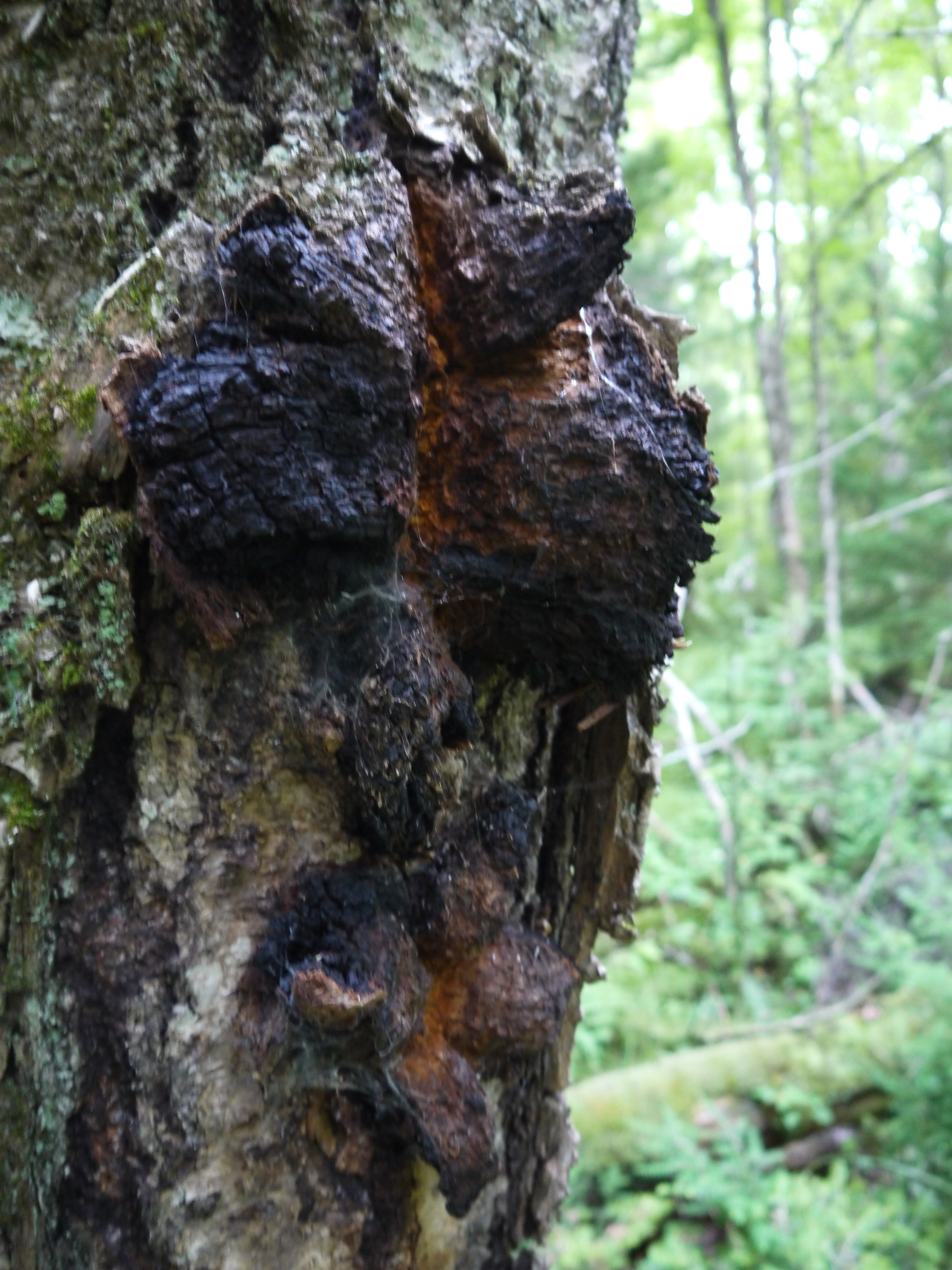 pictures of chaga mushrooms