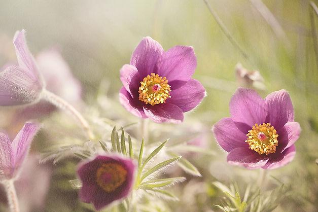 common-pasque-flower-1365647_1920.jpg