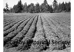 Strawberry Patch 1955