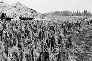 Flax Field 1946