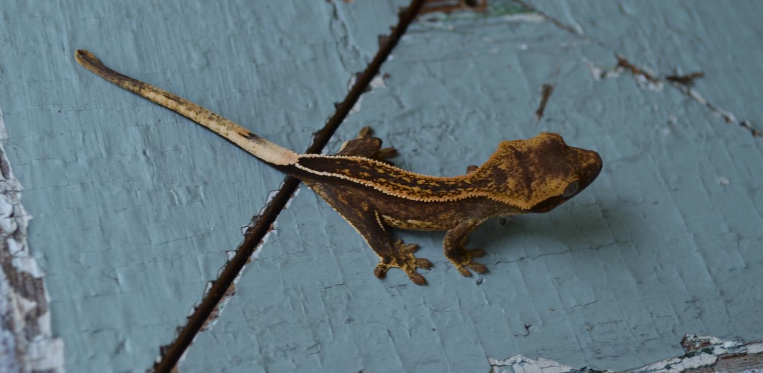 Lgp Gecko Sold Geckos