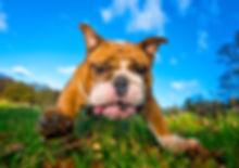 Antonia1_Bulldog_Bounders_Dog_Photograph
