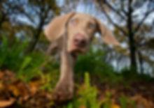 Casper_Weimaraner_Bounders_Dog_Photograp