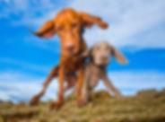 Vinnie & Casper_Weimaraner_Bounders_Dog_