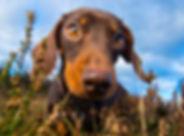 Daisy_Dachshund_Bounders_Dog_Photography
