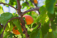 apricot-fruit-tree-and-leaves-side-view.
