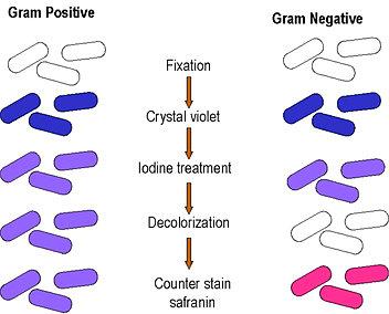 clichs dobservations microscopiques et diffrence entre gram et gram - Coloration De Gram Protocole