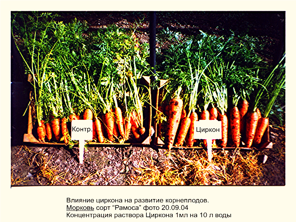 Выращивание моркови на продажу 43
