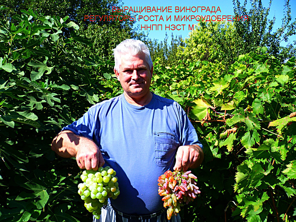 Виноград технология выращивания 50