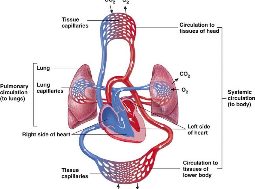 Clinical Cardiovascular System Function