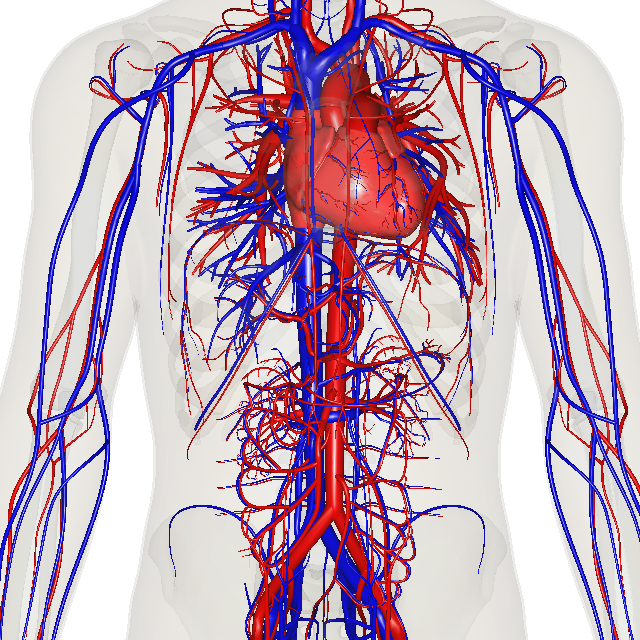 The Cardiovascular System | Custom science communication and ...