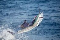 Pacific Sailfish on Fly