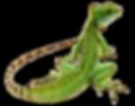 kisspng-lizard-paper-plumed-basilisk-wal