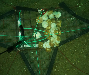 tagged scallops in crab trap