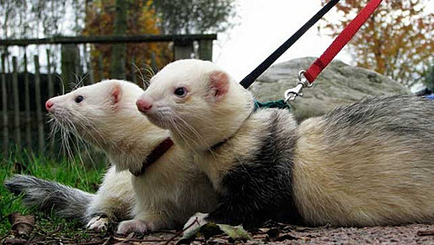 Adopt Ferret Virginia Beach