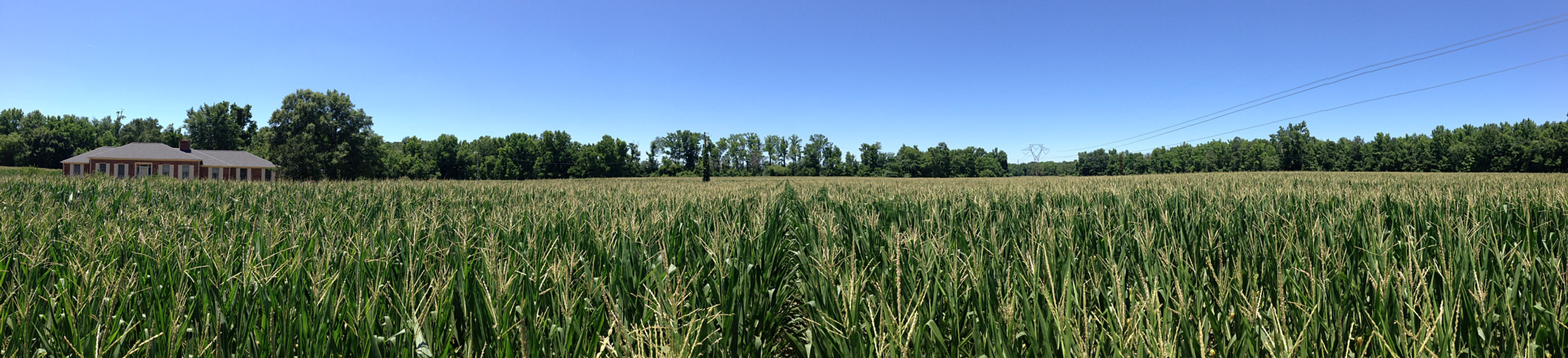 Cornfields on the farm