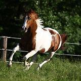 Paint_Horse508317.JPG