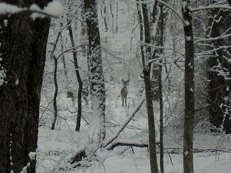 Snowstorm 2010 - Deer
